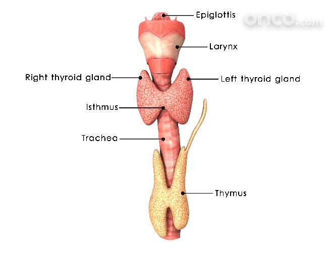 Graphic representation of throat anatomy