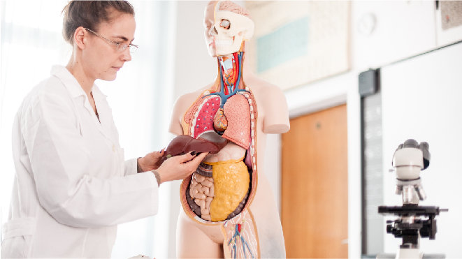Picture of a doctor examining an artificial liver