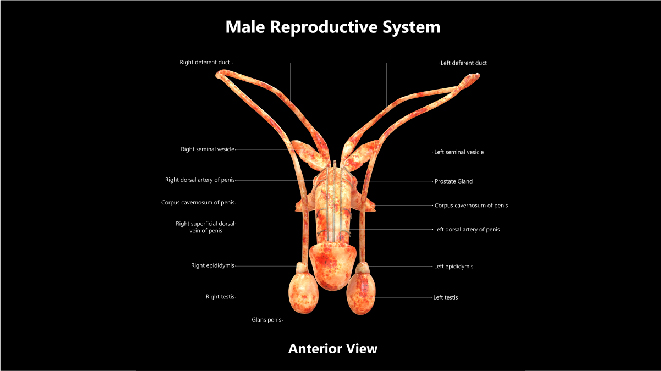 Anatomy of a reproductory system of a male