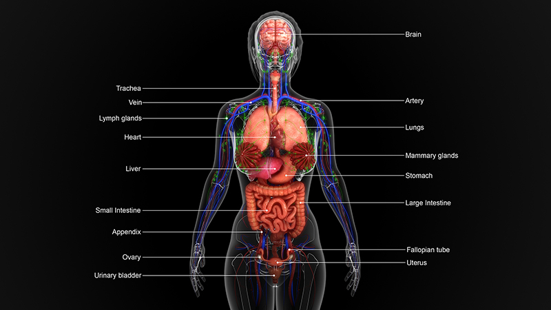Visual representation of the anatomy of a human