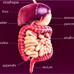 Visual representation of a human with information of the digestive system