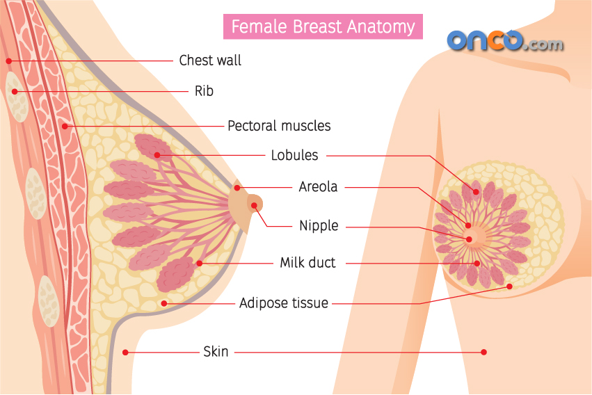 Female breast anatomy in the study of breast cancer